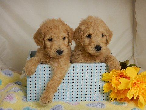 Laurel Ridge Goldendoodle Sound Health With Good Calm